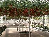 40 ITALIAN TREE TOMATO Trip-L-Crop Lycopersicon Lycopersicum Fruit Vegetable Seeds