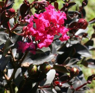Amazon black diamond crape myrtle lagerstroemia attractive black diamond crape myrtle lagerstroemia attractive dark foilage and red flowers a spectacular flowering mightylinksfo
