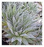 "Spider Aloe - A. aristata - succulent cactus houseplant - 3.5"" Pot!"
