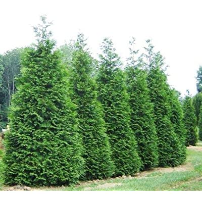 3 Gallon Pot - Live Plant - Green Giant Arborvitae Tree (Thuja Plicata) Live Tree Plant for Planting Outdoor #RR07 : Garden & Outdoor