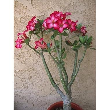 Large (Over 20 ) Live Adenium Desert Rose House Plant Bonsai