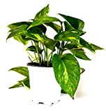 9GreenBox - Golden Devil's Ivy - Pothos