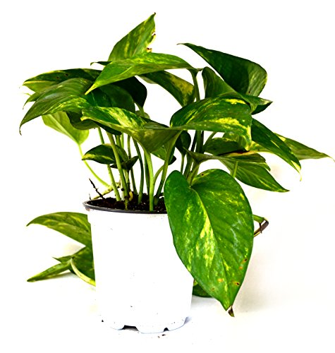 9GreenBox - Golden Devil's Ivy - Pothos - Epipremnum - 4