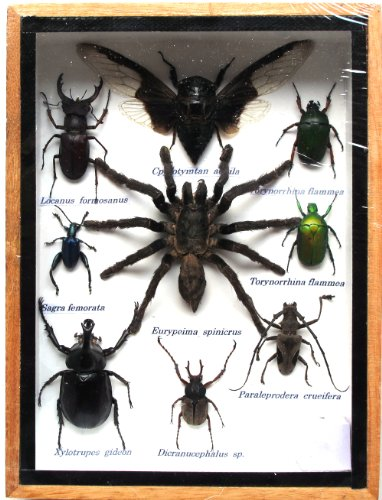 REAL MIXS VERY RARE INSECT TAXIDERMY SET IN BOXES DISPLAY FOR COLLECTIBLES by Thai decorated
