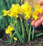 Tete a Tete Narcissi/Daffodil 25 Bulbs