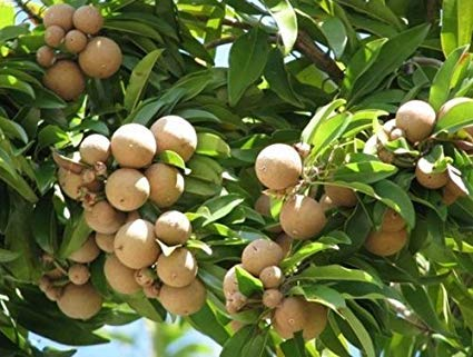 A2C Plant Chikoo (Chiku) or Sapota Hybrid Grafted Variety Tree Chikoo Live Plant With Pot (B07V5NP36X) Amazon Price History, Amazon Price Tracker