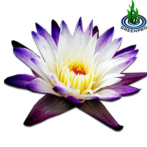 (Nymphaea Purple Joy) Tropical Water Lily Tuber Live Aquatic Plants for Freshwater Fish Pets Pond Balcony Decorations by Greenpro