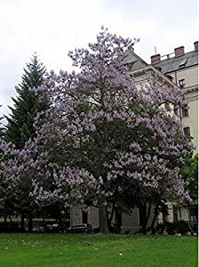 Royal Paulownia- Empress Tree- 35 Seeds