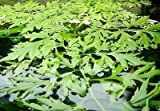 Water Sprite Indian Fern Live Freshwater Aquarium Plant