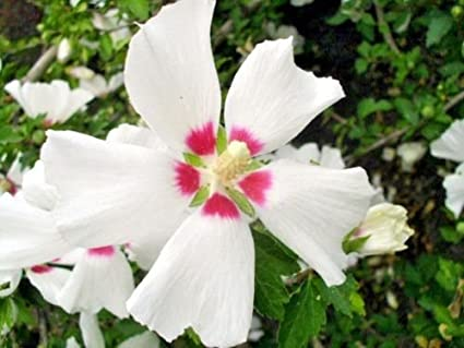 Amazoncom One Red Heart Rose Of Sharon Seedling Hibiscus