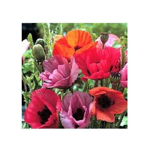 Perennial Poppies - Oriental Poppy 'Fruit Punch'/ Papaver orientale/Hardy Perennial / 50 Seeds