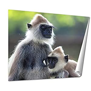 Ashley Giclee Grey Langur Semnopithecus Schistaceus Yale Grey Langur Semnopithecus Schistaceus Sri Lanka wall art poster print for bedroom, ready to frame, 16x20 Print