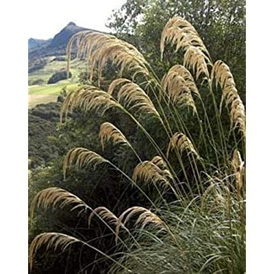 Ornamental Grass Seed - Cortaderia Pampas Grass Richardii Seeds : Garden & Outdoor