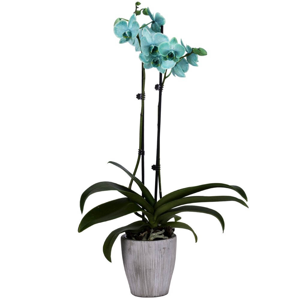 DecoBlooms Living Green Orchid Plant - 5 inch Blooms - Fresh Flowering Home Décor