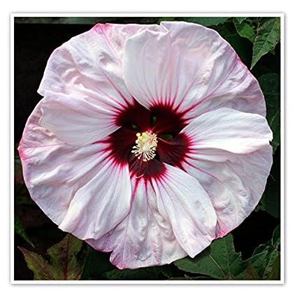 Amazoncom 10 Cherry Cheesecake Hardy Hibiscus Seeds Garden