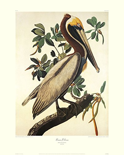 "Global Gallery DP-132790-2430 ""John James Audubon Brown Pelican (Decorative Border)"" Unframed Giclee on Paper Print, 30"" X 24"" from Global Gallery"