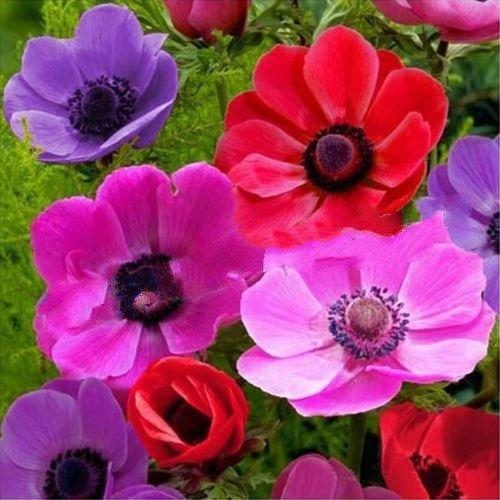 Anemone Bulbs blanda Mischung (Anemone Blanda Bulbs)