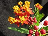 100 Sunset Flower Milkweed / Blood Flower Seeds (Asclepias Curassavica)