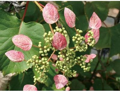 緑のカーテン イワガラミ(岩絡み)・ロゼウム(大株) 薄桃色花 落葉 つる性低木