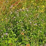 Wildflower - Water Mint - 2000 Seeds