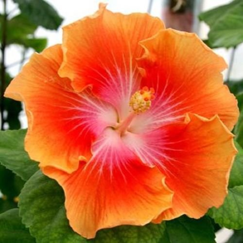 (20 Rare Yellow Orange Hibiscus Seeds Giant Dinner Plate Flower Garden Exotic)