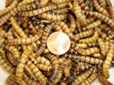 5000ct Live Superworms, Feed Reptile, Birds, Fishing Best Bait