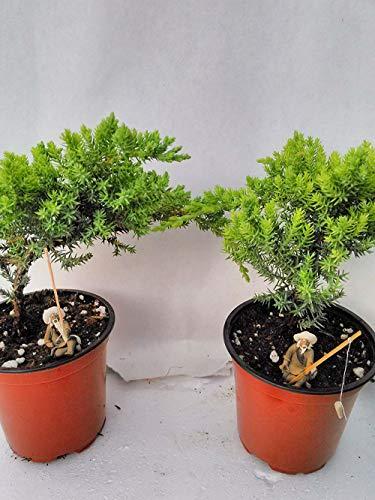 Two Tree Bonsai Juniper Live Plant Garden 4'' Pot with Fishman Best Gift