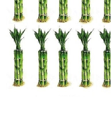 150 Stalks (15 Bundles) of 6 Inches Straight Lucky Bamboo From Jmbamboo