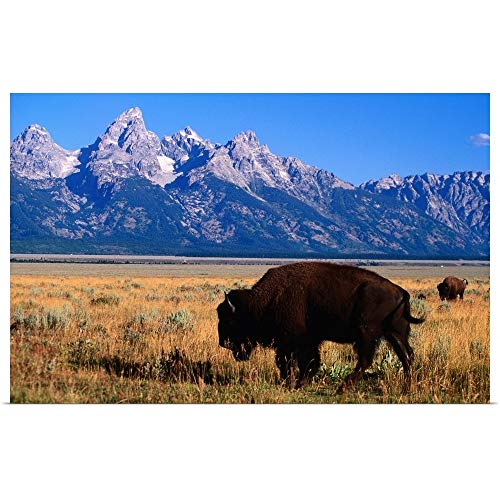 GREATBIGCANVAS Poster Print Entitled American Bison on Antelope Flats, with Teton Range Beyond by 18