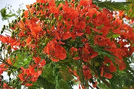 Red  Flamboyant tree Seeds, Delonix regia Seeds 10 Red  Delonix Seeds