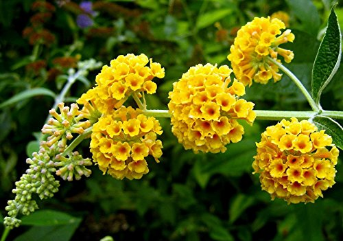 Golden Glow Butterfly Bush - Buddleia - Fragrant - 4