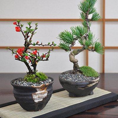 【夫婦セット】お母さんお父さんへの贈り物にぴったり 盆栽ペアセット 長寿梅と五葉松のミニ盆栽 B06Y6P5CXG