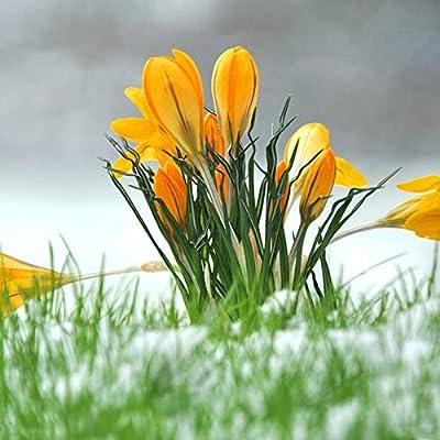 1 Bulbs, Fall Blooming Saffron Crocus Sativus; True Saffron : Garden & Outdoor