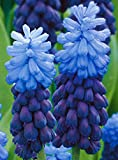(5) Muscari Latifolium,.Flowering Bulbs Easy to Grow and Easy to Care for
