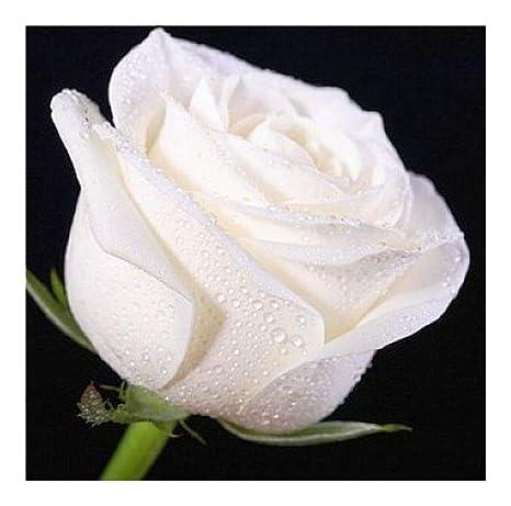 Rosa Blanca 10 Semillas Amazones Hogar