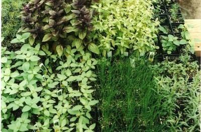 Herb Plants: Six different herb plants, one each: Oregano, Spearmint, Parsley, Lemon Balm, Sage, Peppermint