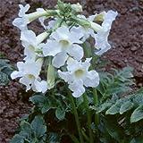 Plant World Seeds - Incarvillea Delavayi Alba Seeds