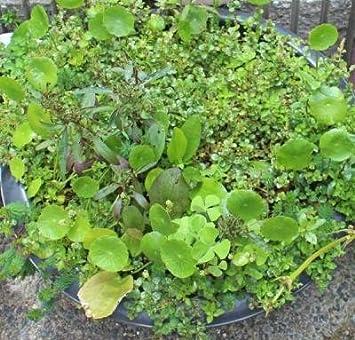 ビオトープ 水草
