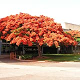 New Royal Poinciana Delonix Regia 5+ Seeds