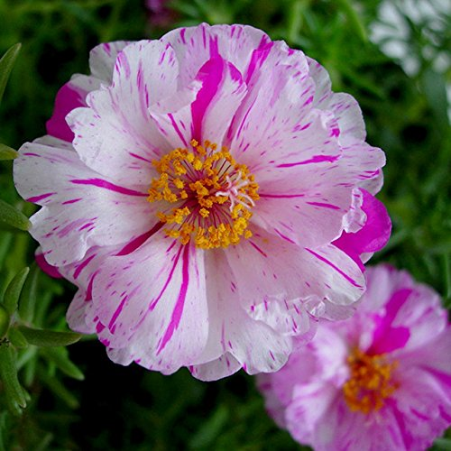 HOO PRODUCTS - 500 Mixed Color Moss-rose Purslane Double Flower Seeds for planting (Portulaca grandiflora), heat tolerant ,easy growing Cheap!