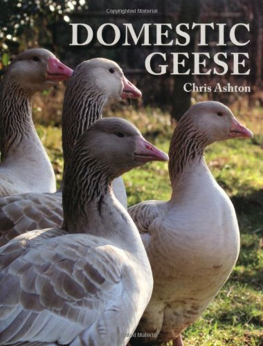 domestic-geese