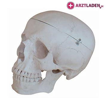 Anatomie Schädel Menschenschädel: Amazon.de: Drogerie & Körperpflege
