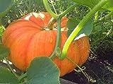 Rouge VIF D Etampes Pumpkin 25 Seed