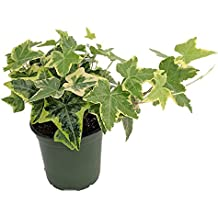 """Gold Child English Ivy - Hardy Groundcover/House Plant - Sun or Shade - 4"""" Pot"""