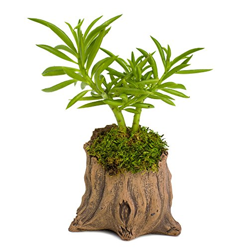Natural Elements Stump Planter (Shorty) - Realistic Woodland-Themed with Intricate Weathered bark Detail + Fiber Soil + Moss Mulch. Grow Succulents, Cactus, African Violets. Striking in Any D