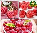 Plentree Red Giant Raspberry Seeds Rasp Fruit Seed Big Super Berry Seed Strawberry 2000+