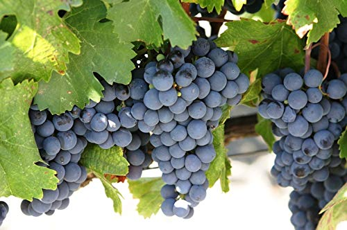Concord Grape Vine Plant, Varies in Color from deep Blue to Purple or Almost Black, Excellent Variety for jams and juices (2 Gallon Bare-Root Set of Two Plants) by Pixies Gardens