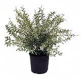 Dappled Japanese Willow - Salix I. Hakuro Nishiki - 3 Gallon