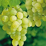 """Thompson Seedless Grape Vine Plant, Sweet Excellent Flavored""""White"""" Green Grape, Large Clusters on Vigorous Growing Vines. (1 Gallon)"""