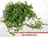 """Creeping Fig (Ficus Repens) Green in 7"""" Pot Full and Long Runners"""